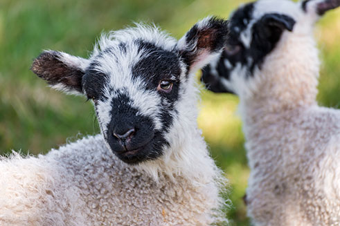 A close-up shot of two pretty spring lambs, in the market town of Allendale.